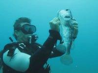 Balon Balığını Kancadan Kurtaran Dalgıç