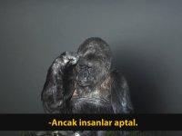 """Goril Koko : """"İnsanlar Aptal, Dünyayı Kurtarın"""""""