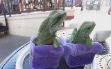 Adanalı İguanalar Keyif İçerir