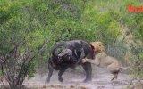 Aslanlar Tarafından Yakalanan Buffalonun Yaşam Mücadelesi