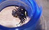 Karadula Saldıran Örümcek  Böcek Reis