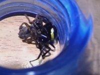 Karadula Saldıran Örümcek - Böcek Reis