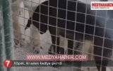 İki Aslanı Muma Çeviren Cesur Köpek
