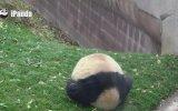 Kendisini Top Zanneden Sevimli Panda