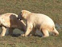 Vahşi Yaşam Parkında Çok İyi Dost Olan Kutup Ayıları