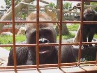 Tırtıl Gören Şaşkın Gorillerin Tepkisi