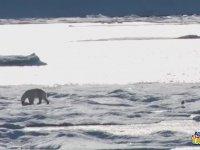Yavru Ayıyı Yemek Zorunda Kalan Kutup Ayısı - İklim Değişikliğinin En Acı Yüzü (+18)