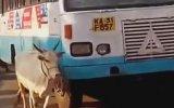 Anne İnek Yavrusunu Ezen Otobüsü 4 Yıldır Takip Edip Yoluna Taş Koyması