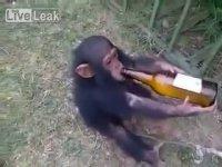 Bira Bağımlısı Alkolik Maymun
