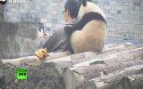 Selfie Çektirirken Türlü Türlü Pozlar Vermeye Çalışan Panda