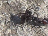 Örümcek Avcısı Yaban Arısı