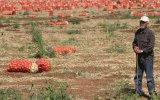 Satamadığı Soğanlar İçin Bekçi Tutan Çiftçi  Adana