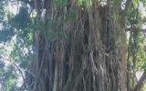 Maymun Gibi Ağaca Tırmanan Çocuk