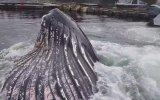 Marinada Kambur Balina Besleyen Yürek Yemiş Balıkçı