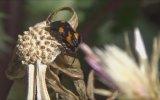 Sırtında Kalp Kabartması Taşıyan Böcek