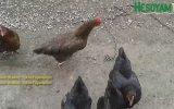 Tavukları Asker Gibi Eğiten Çocuk