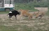 Canlı ineği Kaplanlara Yem Eden Çinliler
