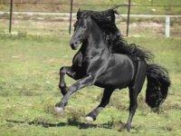 Dünyanın En Yakışıklı Atı - Frederik