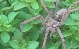 Örümceklere Dokunmak  Böcek Reyiz