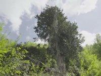 Zonguldak'taki 4112 Yaşında Porsuk Ağacı