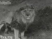 Aslan ile Kaplanın Dövüşü