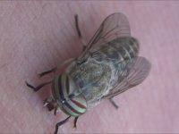 Güzel Gözlü Sinekler - Tabanidae