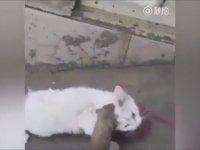 Lağım Faresinden Kurtulmaya Çalışan Kedi