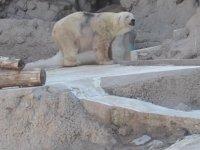 Hayvanat Bahçesinde Delirerek Ölen Kutup Ayısı