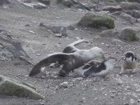 Canlı Pengueni Yiyen Giant Petrel (Şerefsiz Kuşlar Serisi 3)