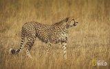 Sürüden Ayrılan Antilobun Çitaya Av Olması