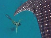 Balina Köpekbalıklarının Yanında Korkusuzca Yüzen Kadın Yüzücü