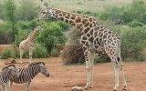 Zürafaya Kafa Tutan Zebra