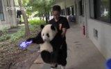 Bakıcısının Konuşmasını Evet Diye Onaylayan Panda Weng Lan