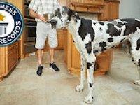 Dünyanın En Uzun Boylu Köpeği