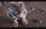 Dünyanın en büyük kedisi  Liger