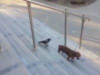 Köpeğe Izdırap Olan Karga