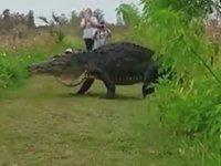 Florida'da Bulunan Büyük Timsah