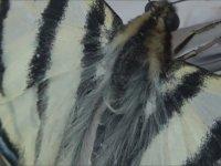 Evde Doğan Kelebek