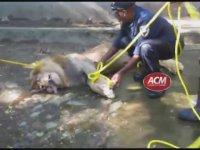 Bayıltılmak İstenen Aslanın Boğularak Ölmesi