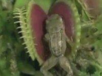 Kurbağa Ve Fare Yiyen Etobur Bitki
