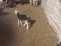 İlk Kez Yavru Keçi İle Tanışan Koyunlar