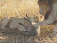 Avını Öldüren Dişi Aslanla Çiftleşmek İsteyen Erkek Aslan