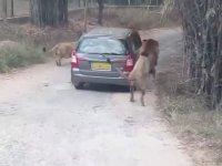Arabanın Modelini İnceleyen Aslanlar