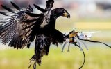 Fransa Drone'ları Kartallarla Yakalayacak