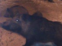 Evcil Domuzlar
