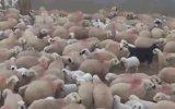 Koyun ve Kuzuların Duygusal Buluşması  Tunceli