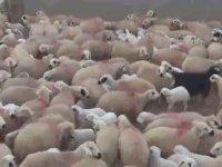 Koyun ve Kuzuların Duygusal Buluşması - Tunceli