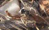 Arı Avcısı Beyaz Yengeç Örümceği