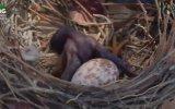 Aldatılan Drongo Kuşu  Şerefsiz Kuşlar Serisi