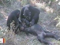 Ölen Şempanzenin Dişlerini Temizlenmesi